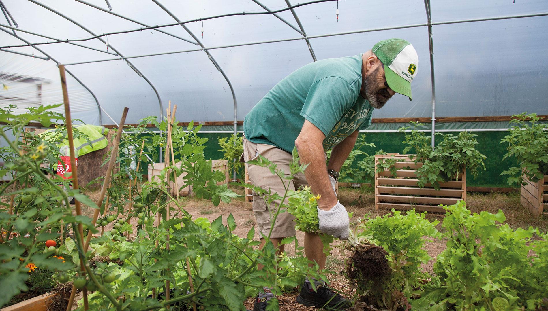 Man harvesting vegetables in a community garden
