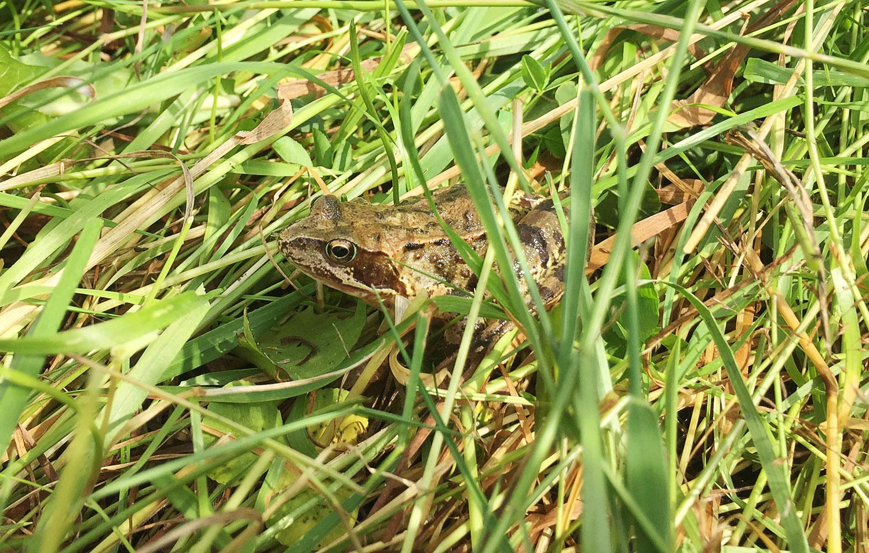 Turn Moss Frog