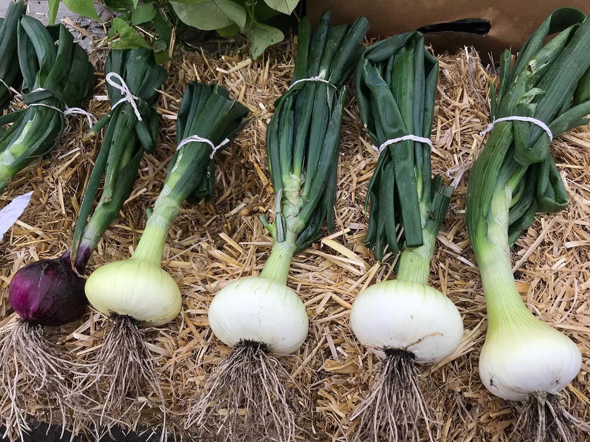 Community Garden Donates Fresh Food To Local Community
