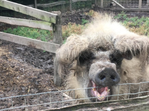One of Jarrow Hall's resident pigs during lockdown