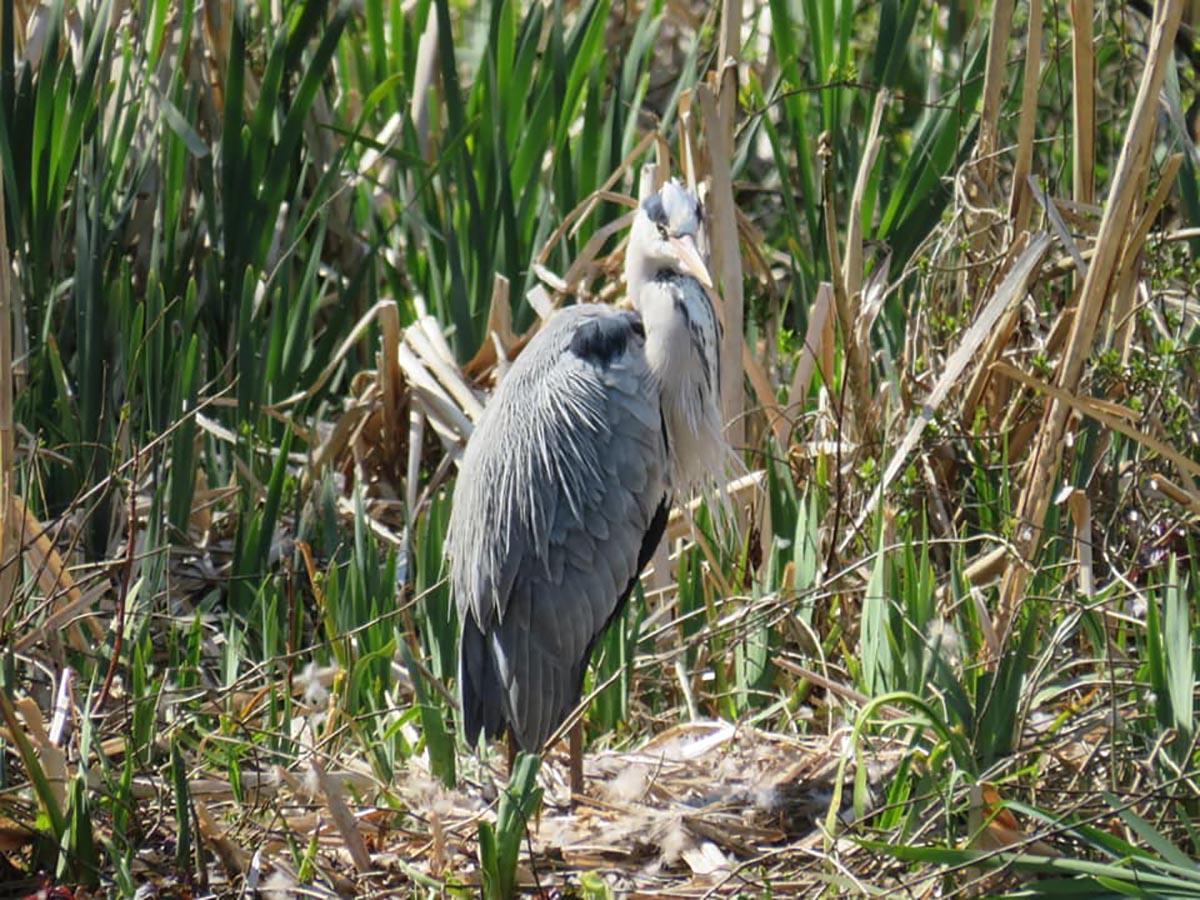 A heron on the Blackpool Pond Trail